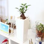 観葉植物 妖精がすむといわれているガジュマル 5号 ホワイト陶器鉢 ストレート+陶器製のお皿付き