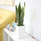 観葉植物 空気を浄化するといわれているサンスベリア 5号 スクエアプラスチック鉢|消費税 据え置き価格対応品