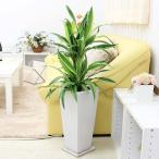 観葉植物 珍しい ドラセナ デレメンシス レモンライム 選べる陶器植え 7号 Zタイプ