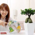 観葉植物 妖精がすんでいると言われている幸せを見守るの木!ガジュマル・スクエア陶器鉢
