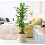 観葉植物 幸福の木 7号鉢+ホワイトバスケット鉢カバー