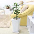 観葉植物 珍しい!ミラクルフルーツ  ホワイトロング陶器鉢 Gタイプ