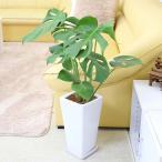 観葉植物 モンステラ 7号 スクエア陶器鉢 ストレート