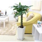 観葉植物 スタイリッシュ!人気のパキラ 7号+スクエアホワイトロング陶器鉢Gタイプ