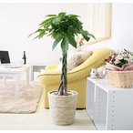 観葉植物 パキラ 7号鉢 ホワイトバスケット鉢カバー