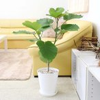 観葉植物 フィカス ウンベラータ  7号 選べるセラアート鉢の写真