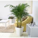 観葉植物 アレカヤシ 8号 スクエアタイプG「プラスチック鉢タイプ」+鉢皿付き