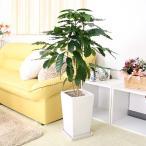 観葉植物 幸せが訪れる末広がり¥8888(税抜き) コーヒーの木 8号 スクエアホワイトロング 陶器鉢