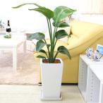観葉植物  幸せのラッキー7 (税抜き)¥7777 オーガスタ 7号 選べるスクエア陶器鉢 ストレート