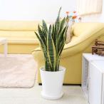 観葉植物 空気を浄化するといわれているサンスベリア 8号 選べるセラアート鉢