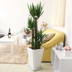 観葉植物 青年の木(ユッカ) 8号+ホワイトスクエア陶器鉢 Gタイプ