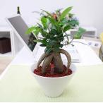 【ハイドロカルチャー】美濃焼き鉢植物 「おもしろ樹形のガジュマル」+水位計付き(鉢色:ホワイト)