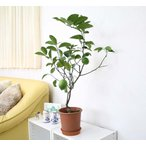 レモンの木の苗 プラスチック鉢 6号 鉢植え