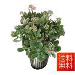 金のなる木 花月 4.5号  観葉植物