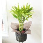 ミリオンバンブー 受け皿 カバー付き 観葉植物 6号