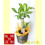 幸福の木 観葉植物 6号 鉢カバー・受皿付 【父の日】