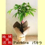 パキラ・アクアティカ 観葉植物 7号 【発財樹 大型 開店祝い インテリア 開業祝い 人気 誕生日 新生活 引越し祝い あすつく対応】