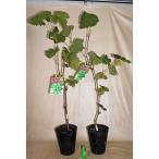 果樹苗 ブドウ シャインマスカット 4号ポット挿し木苗