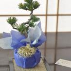 【敬老の日プレゼント】五葉松のミニ盆栽  育て方冊子と肥料付き 【送料無料】