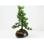 【父の日】特選五葉松の盆栽 父の日の贈り物【送料無料】