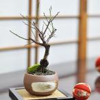 ミニ紅梅の盆栽 三足お椀鉢 2月に満開の花を咲かせる梅盆栽