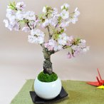 桜の盆栽 モダン丸鉢 受皿つき