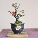【母の日】かわいいミニ長寿梅の盆栽 ラッピング メッセージカード、説明書&肥料付【送料無料】