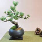 枝ぶりの良い五葉松の盆栽 丸和鉢仕立て 上品な趣と情緒あふれるたたずまい。