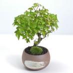 楓の寄せ植え盆栽