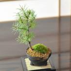 カラマツ 落葉する松の盆栽