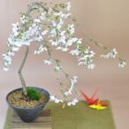 しだれ桜の盆栽 サクラのシャワーを浴びたい方へ
