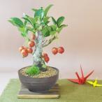 姫りんごの盆栽 たわわな実がなるかわいい盆栽