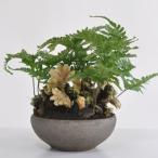 縁起の良い招き猫盆栽 石化トキワシノブ