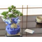 バレンタインデーに松の盆栽をプレゼント 五葉松 育て方冊子と肥料付き[送料無料][盆栽 ミニ盆栽 鉢植]