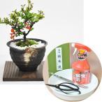 敬老の日プレゼント 盆栽 はじめて道具セットとミニ長寿梅 つぼ鉢[焼杉敷板付き][4点道具セット付]【送料無料】