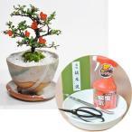 長寿梅の盆栽とはじめての道具セット 受け皿付き 盆栽 ミニ盆栽 鉢植