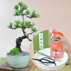 ミニ五葉松の盆栽とはじめての道具セット