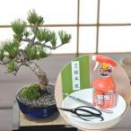 五葉松の盆栽とはじめての道具セット