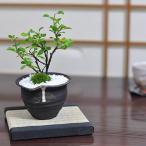 【父の日】父の日に贈るミニ長寿梅の盆栽 説明書&肥料付き