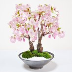 桜のミニ盆栽 満開桜2本立ち さかずきの器 鉢植え 旭山桜
