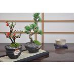 盆栽 花と松のペアセット ミニ長寿梅と五葉松の盆栽 送料無料