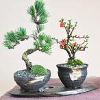 【母の日 父の日】盆栽 花と松のペアセット ミニ長寿梅と五葉松の盆栽 送料無料