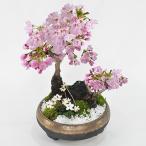 盆栽 桜の寄せ植え 大小の桜に小さい梅花オーレンがかわいい桜の公園風[ミニ盆栽 陶器鉢4号 ギフト かわいい おしゃれ 初心者 贈り物 さくら]