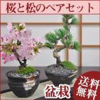 桜盆栽と松のペアセット 花と緑で始める盆栽 ミニ盆栽 鉢植え ギフト 贈り物 和 ミニ