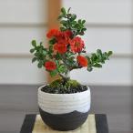 八重長寿梅 八重の花 いっぷく椀 盆栽 ミニ盆栽 四季咲き プレゼント ボリューム 豪華