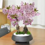 【母の日】5月開花 桜の2本立ち 漆黒浅丸 受け皿付き 鉢植え 花盆栽 ギフト 贈り物  開花調整