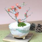 長寿梅 信楽鉢