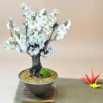 白梅 すり鉢 梅の盆栽 白い花  ギフト 盆栽 開店 お祝い 退職 ラッピング 母の日 父の日 敬老の日 誕生日