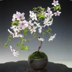 豆桜 瀬戸焼鉢 富士桜 盆栽 ミニ盆栽 ギフト 盆栽 開店 お祝い 退職 ラッピング 母の日 父の日 敬老の日 誕生日