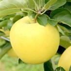 長野県産りんご シナノゴールド 贈答用 3kg